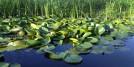 Water lilies, Nature park Obedska bara
